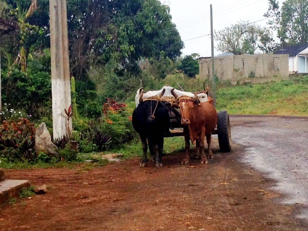 Oxen wearing rain caps
