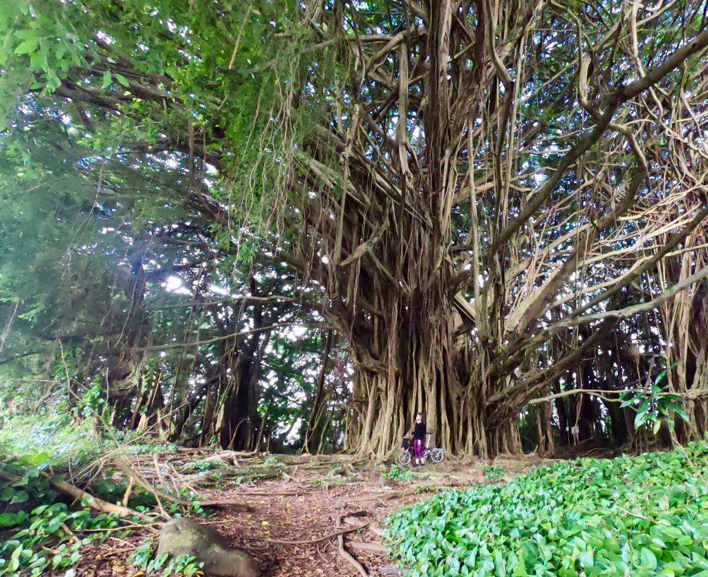 Access to the big banyan tree off Rainbow Drive. Hilo, Hawaii