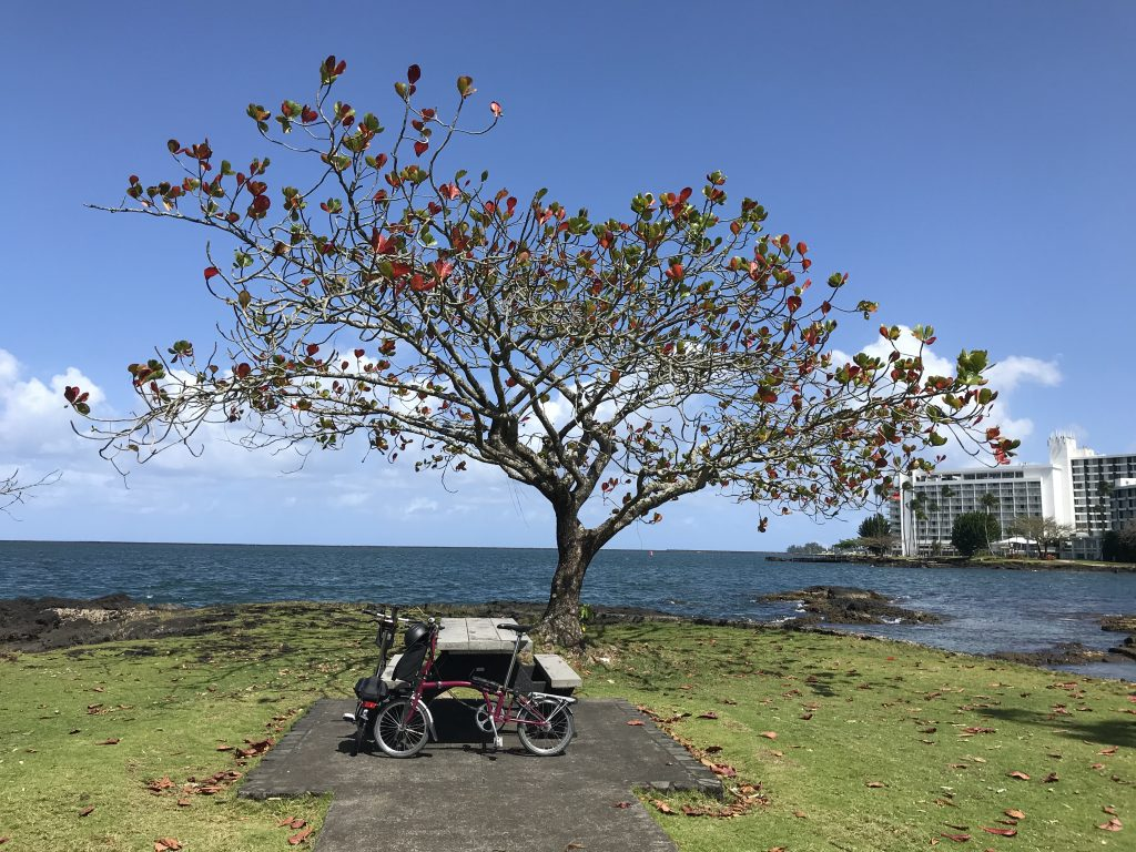 Brompton and pretty tree on Coconut Island.